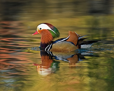 Mandarin Duck ~ Male