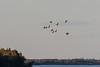 Geese over the Moose River at Moosonee.