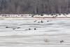 Geese flying over the ice of the Moose River at Moosonee 2017 April 27th.