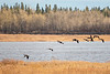 Geese over the Moose River 2018 October 24