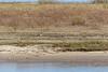Lone goose on the sandbar