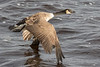 Goose flying along the edge of the Moose River. Wingtips touching the water.