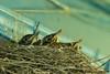 Robins' nest