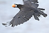 Crow flying with brown egg in its mouth. One wing partly out of frame.<br /> 3048 pixel width cropped image