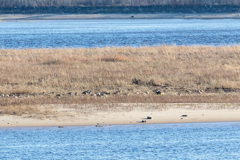 Geese on sandbar.
