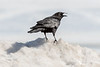 Crow on a snow bank along the Moose River.