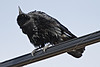 2010 May 9th: Crow on telephone wires, looking upward