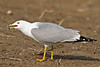 2010 May 9th: Seagull on the ground, neck extended forward, mouth open.