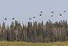Geese flying down the Moose River.