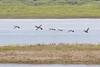Geese flying low over the sandbar. 2016 June 2nd.