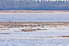Geese on the sandbar in the Moose River