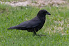 Crow walking on the lawn.