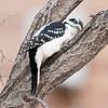Hairy woodpecker in a tree