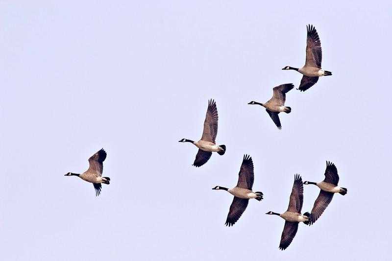 Seven geese in flight at Moosonee, Ontario 2005 September 11th.