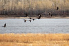 Geese over the Moose River