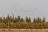 Geese over Butler Island.