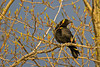 Crow in a budding tree