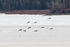 Geese on the Moose River.