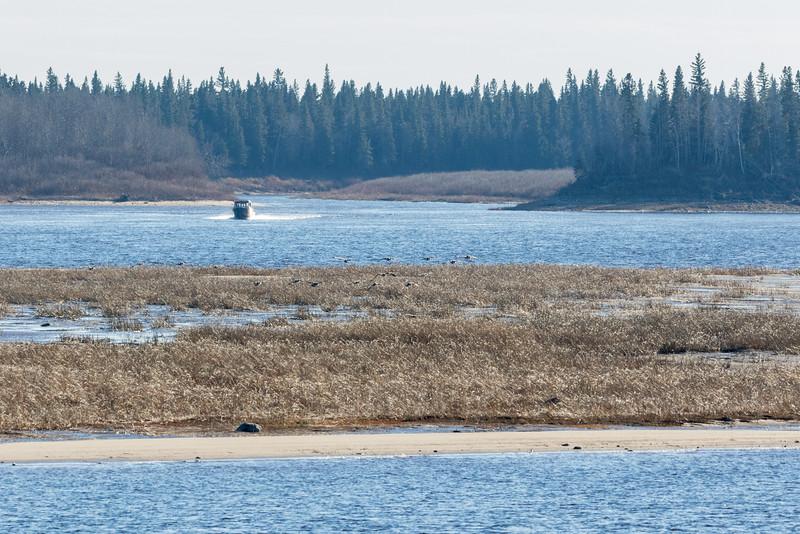 Geese (probably) landing on sandbar.