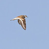 Killdeer<br /> cropped photograph