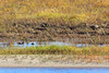 Waterfowl on sandbar in the Moose River at Moosonee in Northern Ontario.