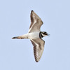 Killdeer<br /> 1024 pixel cropped photograph