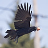 Crow flying with brown egg