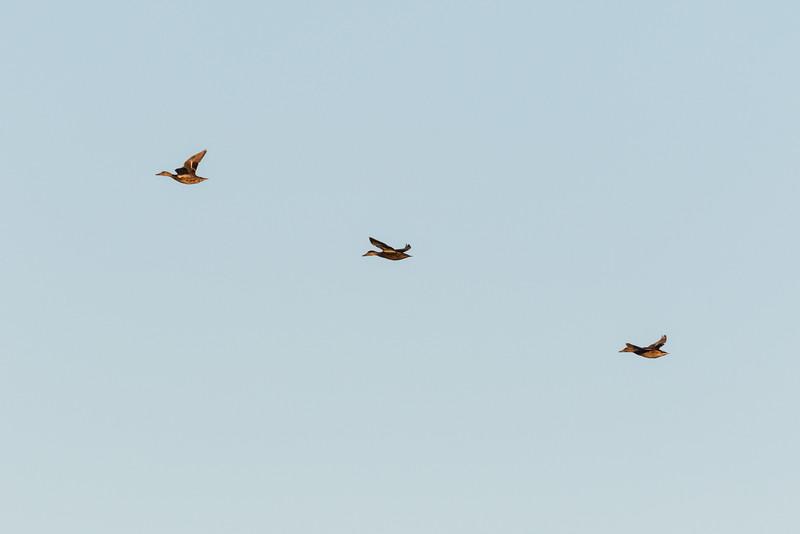 Three ducks over the Moose River.
