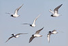 2010 May 17th: Bonaparte's Gull - composite image