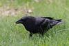 Crow enjoying an egg.