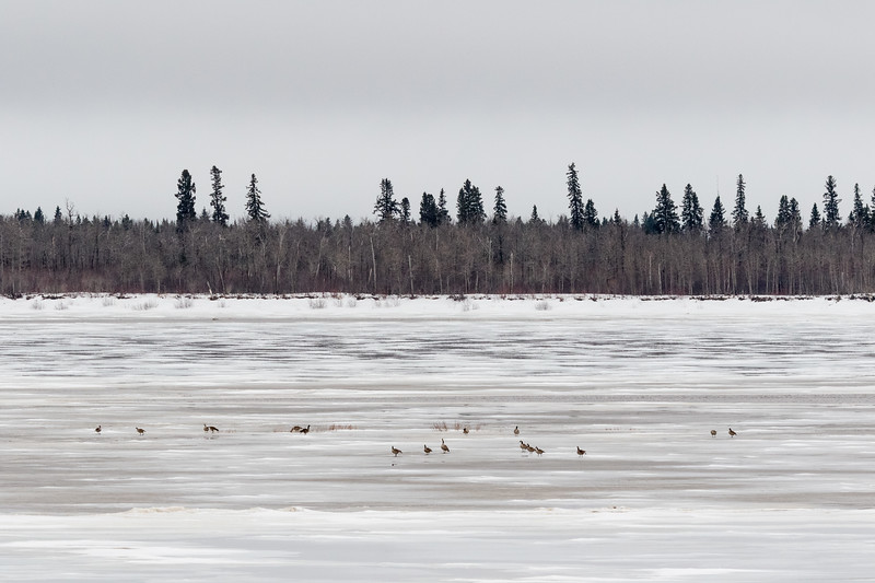 Geese on the ice of the Moose River at Moosonee.