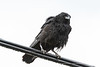 Crow perching on cables.