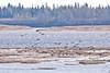 Geese landing on sandbar in the Moose River