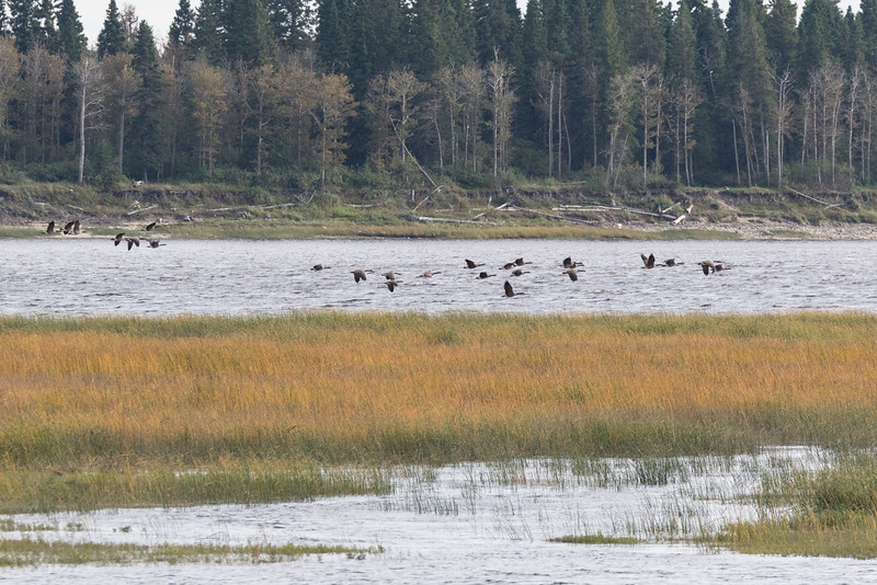 Geese flying over a sandbar at Moosonee.
