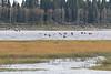 Geese flying over a sandbar at Moosonee.
