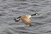 Goose flying along the edge of the Moose River.
