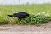 Crow caching peanuts in a clump of clover.