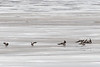Geese just landed on the ice of the Moose River at Moosonee.