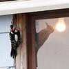 Hairy woodpecker at doorway of legal clinic in Moosonee.