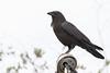 Crow on hydro mast.