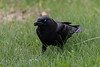 Crow on the lawn.