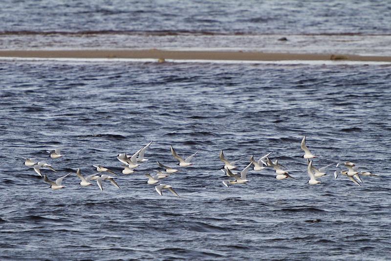 Terns over the Moose River at Moosonee, Ontario