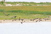 Geese on a sandbar in the Moose River at Moosonee.