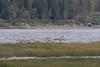 Geese flying low over a sandbar at Moosonee.