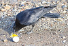 Crow eating egg beside the Moose River