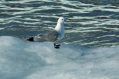 Kittiwake - Black-legged - Glacier Bay, AK