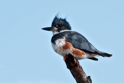 Kingfisher - Belted - female - St. Joe Peninsula State Park, FL