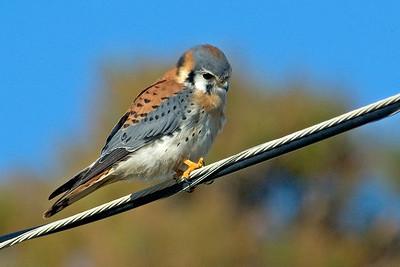Kestrel - American - male - St. George Island, FL