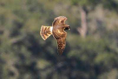 Harrier - Northern - Betz-Tiger Creek Preserve State Park - Jacksonville, FL
