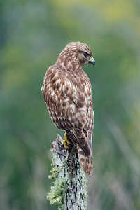 Hawk - Red-shouldered - juvenile - Eastpoint, FL - 01